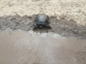wetland turtle pic